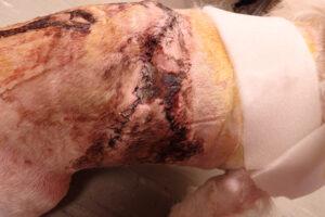 Dierenkliniek Tiel-Drumpt: De gebeten hond: Aan de rechter zijde sterft er ook een deel huid af.