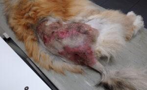 Dierenkliniek Tiel-Drumpt: Maden kunnen ernstige wonden veroorzaken bij onder andere honden, katten, konijnen en cavia's