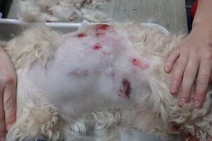 Dierenkliniek Tiel-Drumpt: De gebeten hond: Net gebeten, de linkerzijde lijkt op het oog mee te vallen.