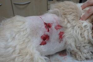 Dierenkliniek Tiel-Drumpt: De gebeten hond: De rechterzijde van Woody nadat hij net gebeten was.