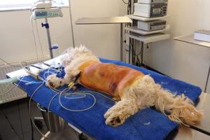 Dierenkliniek Tiel-Drumpt: De gebeten hond: Woody wordt voorbereid om operatief te gaan inspecteren en herstellen.