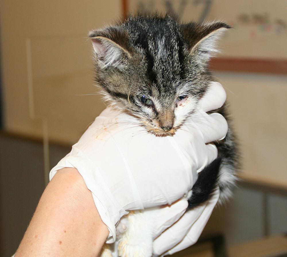 Dierenkliniek Tiel-Drumpt: Kattenziekte