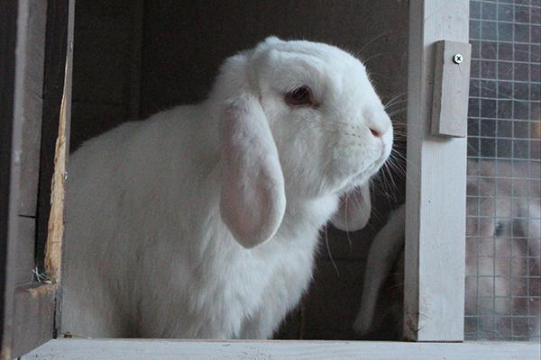 Dierenkliniek Tiel-Drumpt: Het koppelen van konijnen. Konijnen zitten niet graag alleen.