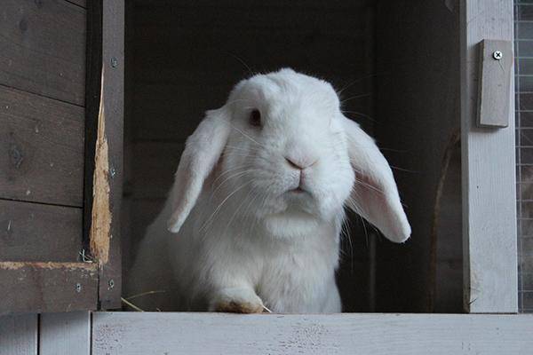 Dierenkliniek Tiel-Drumpt: Het koppelen van konijnen. Konijnen leven graag samen.