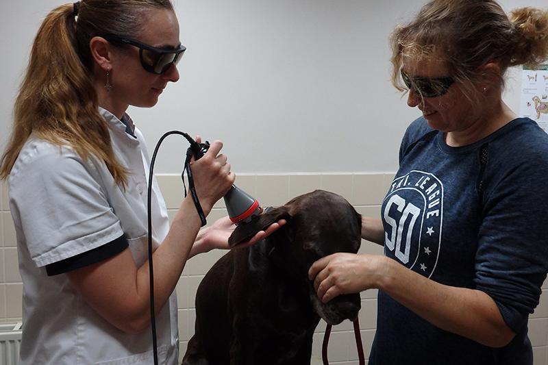 Dierenkliniek Tiel-Drumpt: Lasertherapie doet geen pijn. Ook honden die het eng vinden bij de dierenarts ondergaan het meestal heel goed.