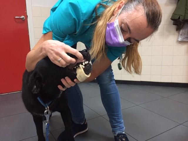 Dierenkliniek Tiel-Drumpt: Mergpijp om de onderkaak van een hond