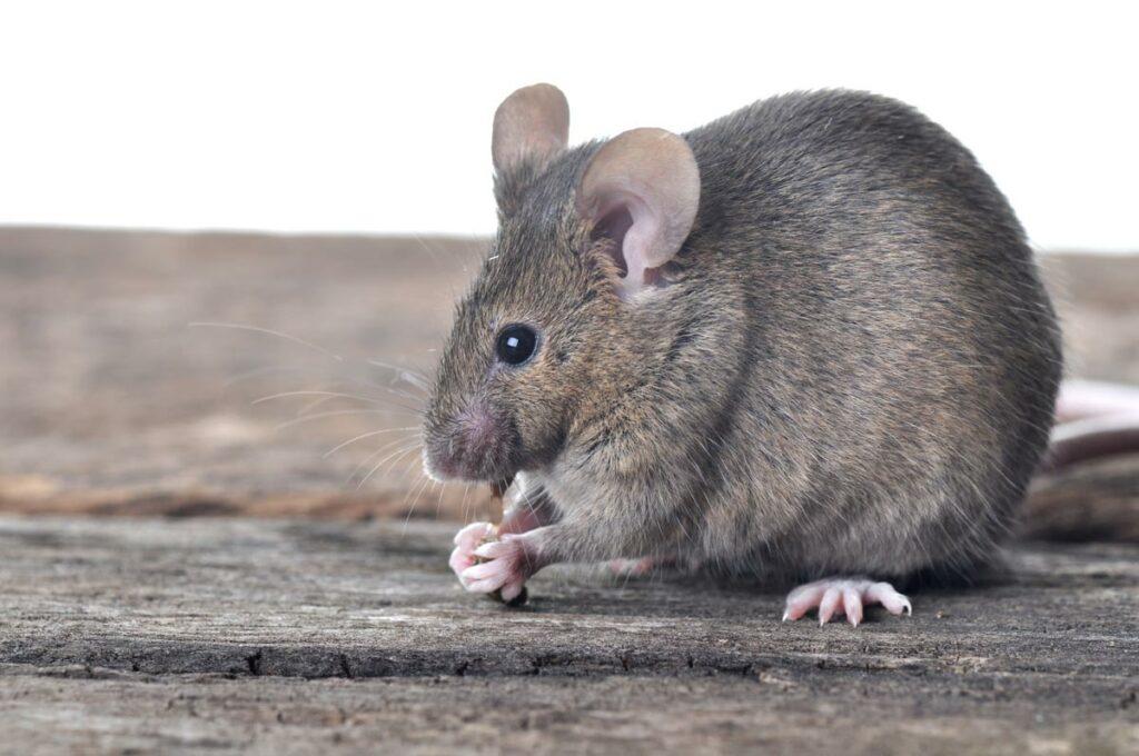 De muis kan ook een leuk huisdier zijn.
