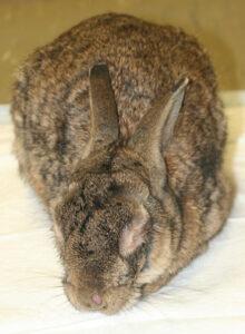 Dierenkliniek Tiel-Drumpt: Een konijn met myxomatose.