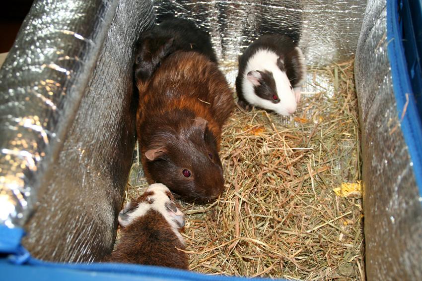 Cavia Otje met haar kleintjes, ze hebben de keizersnede goed doorstaan.