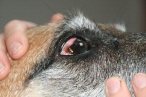 Dierenkliniek Tiel-Drumpt: Pannus bij de hond na behandeling.