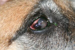 Dierenkliniek Tiel-Drumpt: Pannus bij de hond.