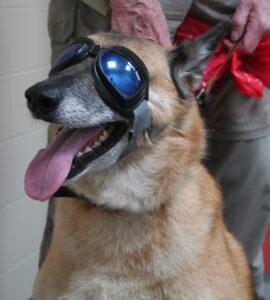 Dierenkliniek Tiel-Drumpt: Een zonnebril is van belang bij de behandeling van Pannus bij de hond.