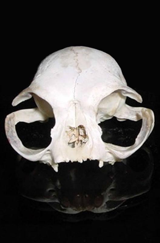 Dierenkliniek Tiel-Drumpt: Designerdieren, een genot of een gevaar? De schedel van de huidige Perzische kat.