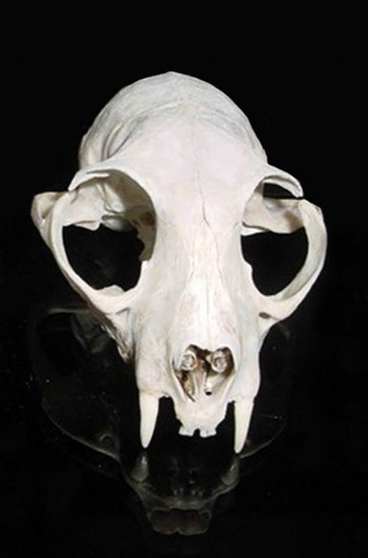 Dierenkliniek Tiel-Drumpt: Designerdieren, een genot of een gevaar? De schedel van de vroegere Pers.