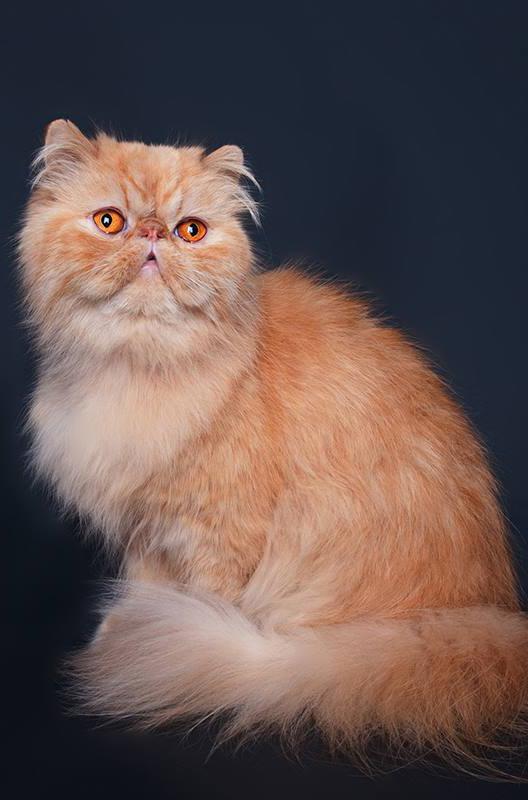 Dierenkliniek Tiel-Drumpt: Designerdieren, een genot of een gevaar? De Perzische kat nu.