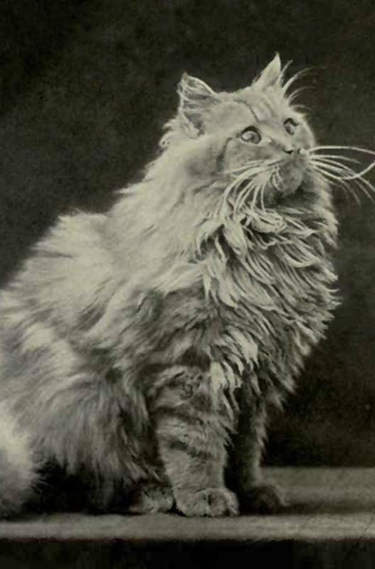 Dierenkliniek Tiel-Drumpt: Designerdieren, een genot of een gevaar? De Perzische kat vroeger.
