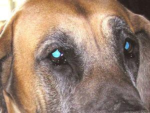 Dierenkliniek Tiel-Drumpt: De meeste doggen hebben meer of minder last van entropion, zo ook de Duitse Dog.