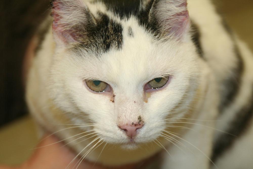 Dierenkliniek Tiel-Drumpt: Wanneer een wit dier veel in de zon zit, zoals deze kat, dan kan de huid verbranden. Hierdoor kan er huidkanker ontstaan.