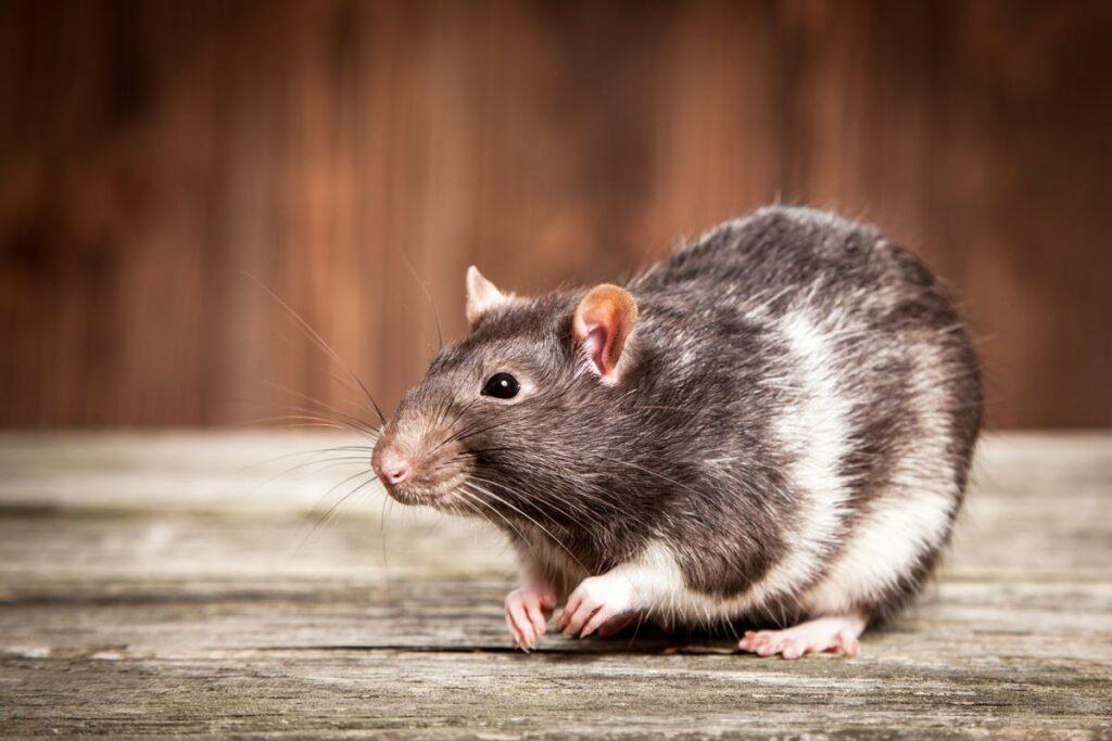 Ratten zijn meestal hele gezellige huisdieren. We zien ze dan ook regelmatig in onze praktijk.