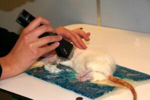 Dierenkliniek Tiel-Drumpt: De rat moet geschoren worden voordat de dierenarts de melkkliertumor kan verwijderen.