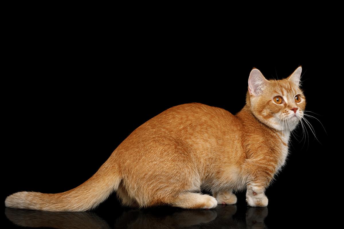 Dierenkliniek Tiel-Drumpt: Designerdieren, een genot of een gevaar? De red Munchkin