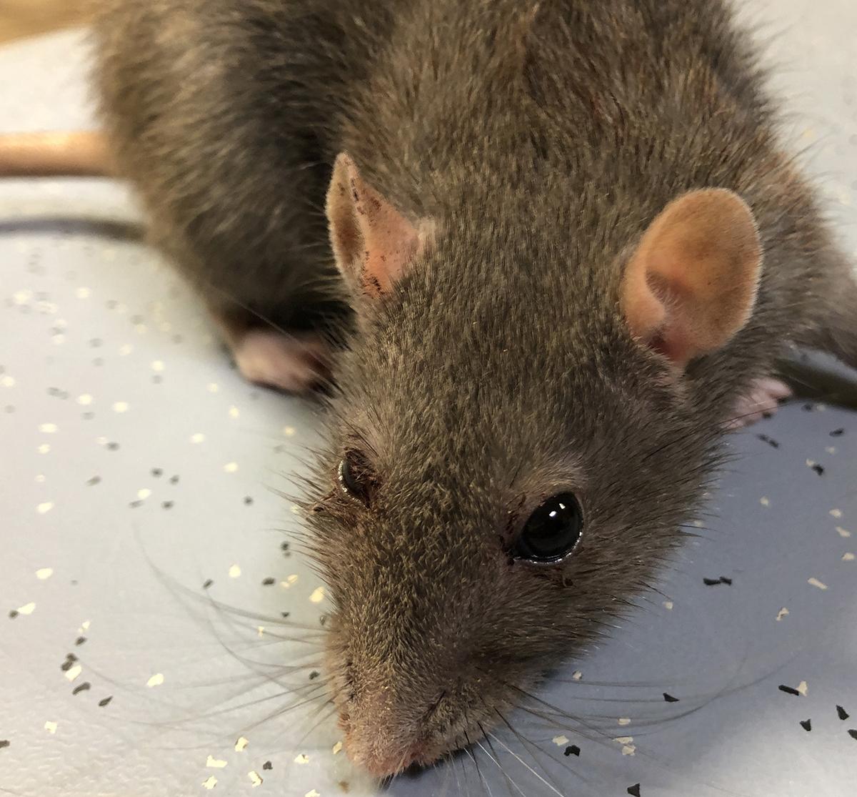 Dierenkliniek Tiel-Drumpt: rode tranen bij de rat.