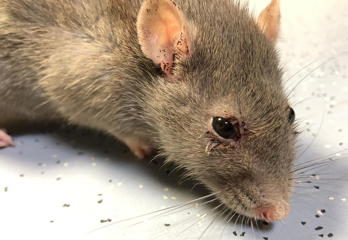 Dierenkliniek Tiel-Drumpt: rode tranen bij de rat kunnen worden gezien bij ratten die ziek zijn.