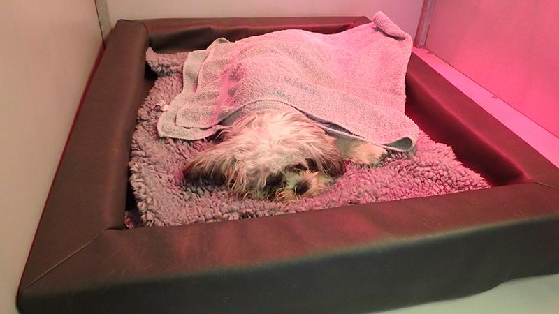 Dierenkliniek Tiel-Drumpt: Sterilisatie van de teef: Lekker in een zachte mand onder de warmtelamp.