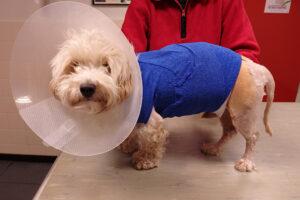"""Dierenkliniek Tiel-Drumpt: De gebeten hond: Woody in zijn """"jasje""""."""